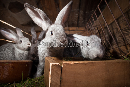 young rabbits eating grass in a