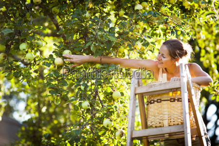 young woman up picking apples from