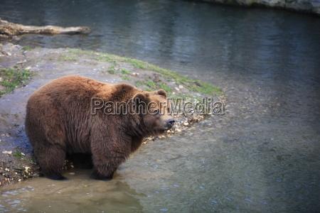 kodiak bear in closeup