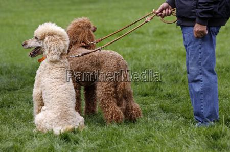 two royal poodle