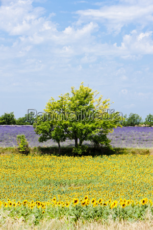 sunflower and lavender fields with a