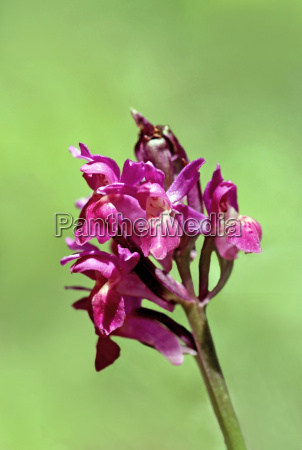 rotbluehendes elder flowered orchid