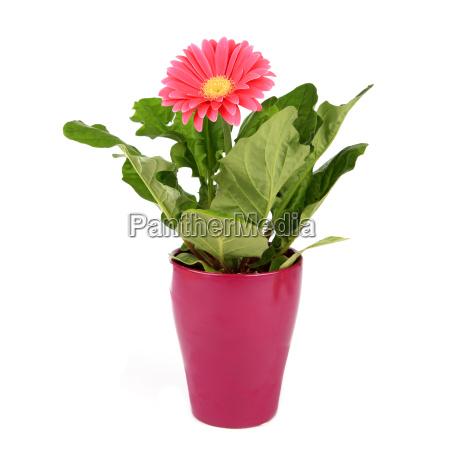 gerberapflanze in flowerpot