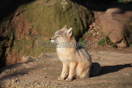 steppe fox in close up