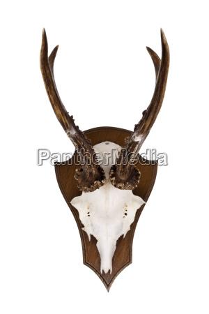 antlers of roebuck