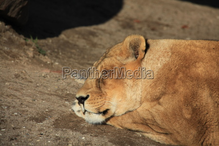lioness in close up