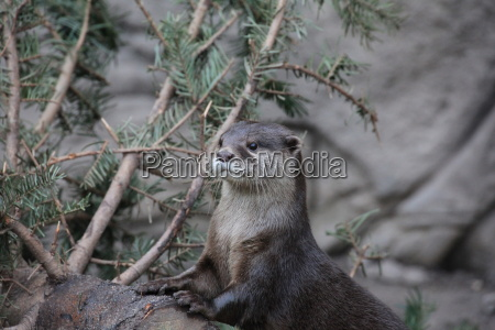 short clawed otter in closeup