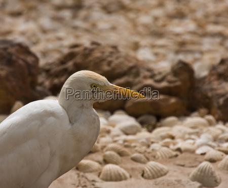 cattle egret head shot