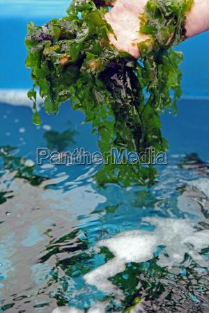 kultur af sosalat havsalat