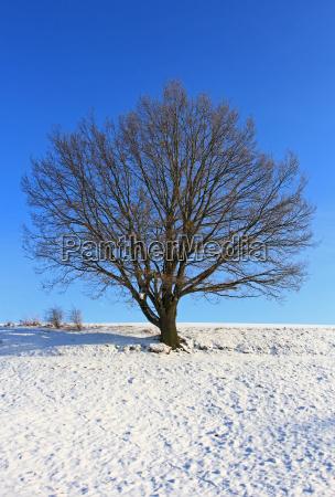 tree winter branches oak snow scenery
