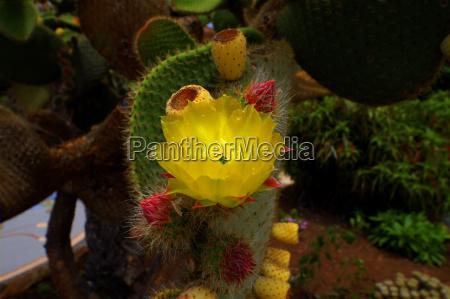 yellow kaktusluete