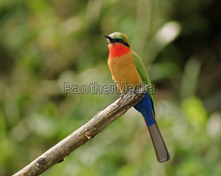 colorful bee eater on a twig