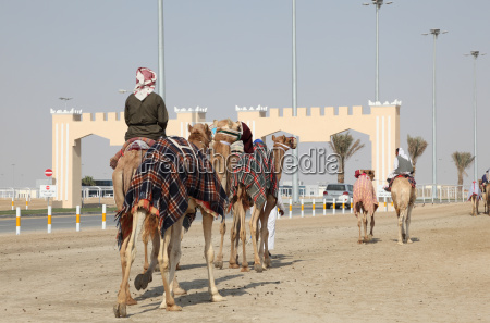 racing camels on the way to