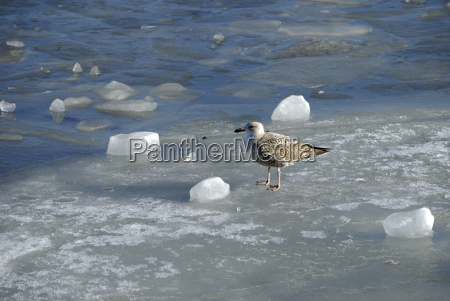 young herring gull on ice floes
