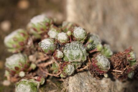 sempervivum arachnodiums spider vine house worm