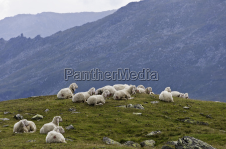 sheep on a alpine mountain pasture