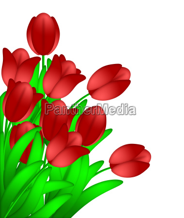 bunch of red tulips flowers isolated