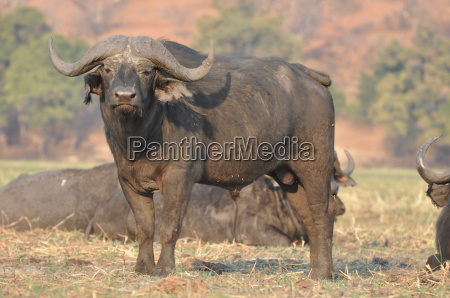 water buffalo in chobe national park