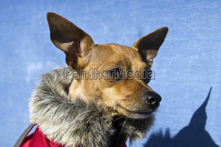 doggie in the cloak