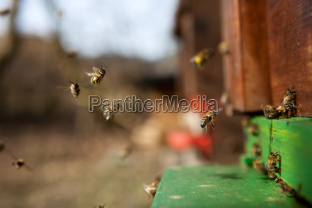 bees flying in their house