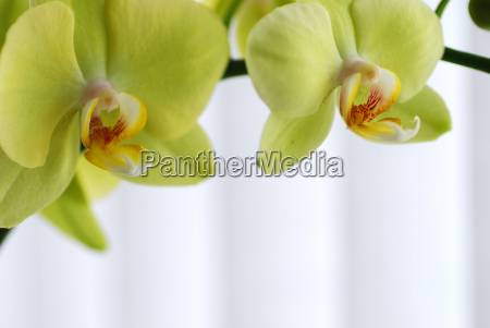 macro green orchid
