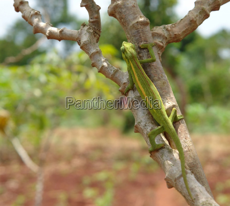 chameleon on a bough in africa
