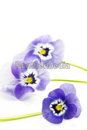 horn violet viola cornuta pansy