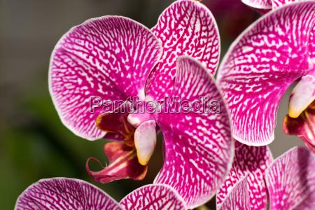 close up of cymbidium or orchid