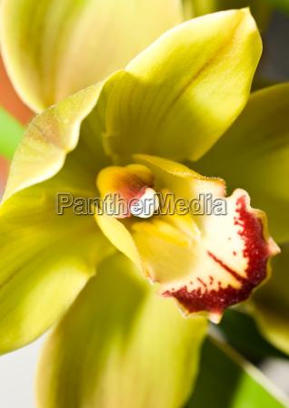 cymbidium orchid flower in keukenhof park