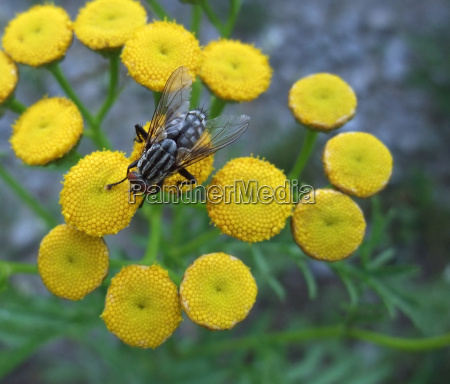 flesh fly on yellow flowers