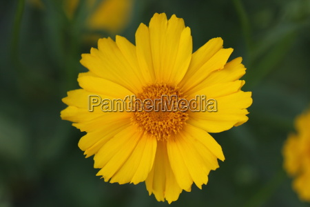layia platyglossa asteraceae tidy tips