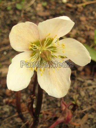 snow rose helleborus