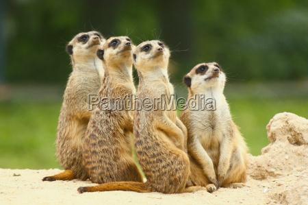 lovely group of meerkats suricata sit