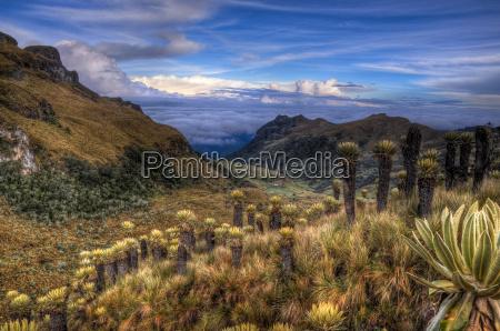 colombian paramo with espeletia plants
