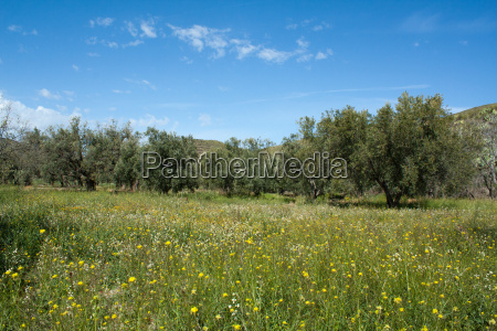olive tree field in andalusia