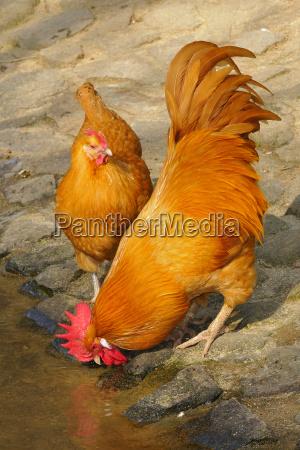 sachsen chicken