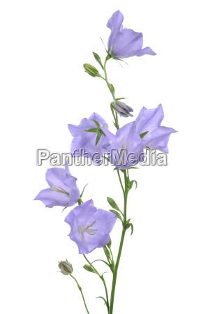light blue bellflower