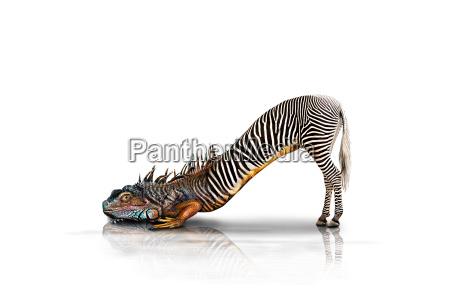 zebra lizard