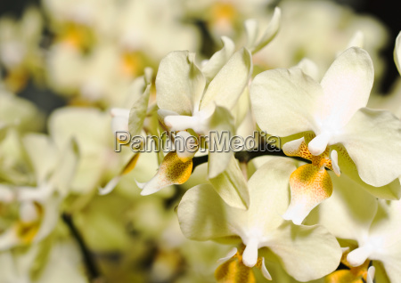 orchide flower in keukenhof park