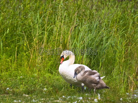 cygnet and grownup swans at