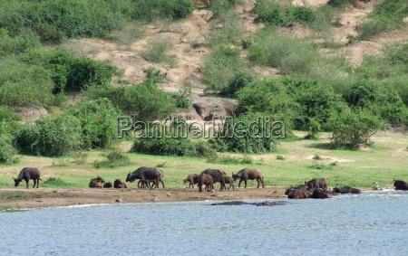 african buffalos waterside in uganda