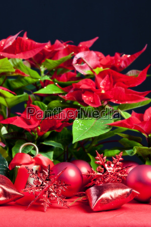 christmas still life with poinsettia