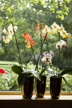 plant pots with moth orchids in