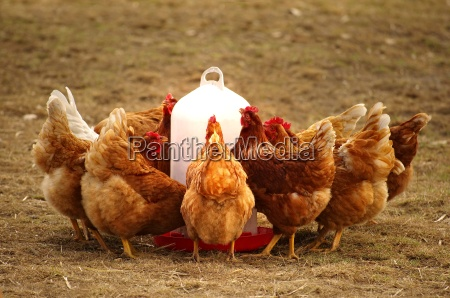 group hens in free range at