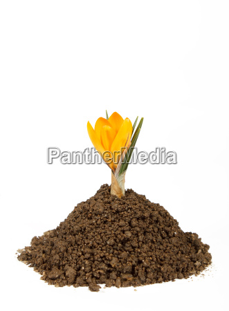small plant crocus growing pile of