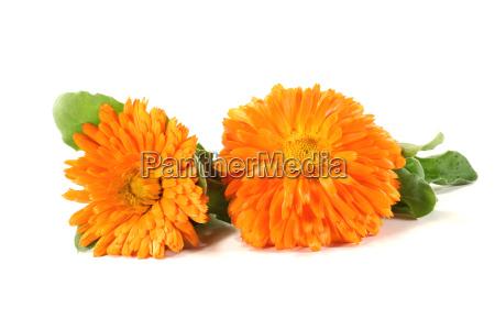 fresh orange marigolds