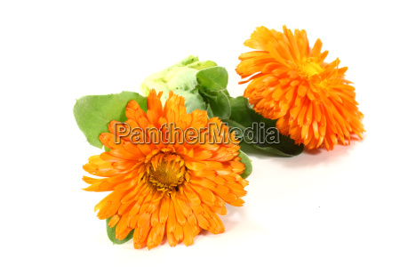 fresh marigold with leaves