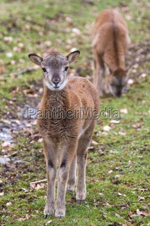young mouflon