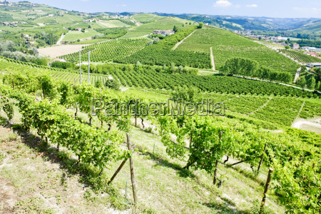 vineyars near barolo piedmont italy