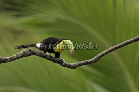 bird animals birds costarica fischertukan lagunadelagarto